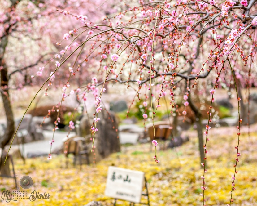 3 Recommended Plum Blossom Spots in Kyoto