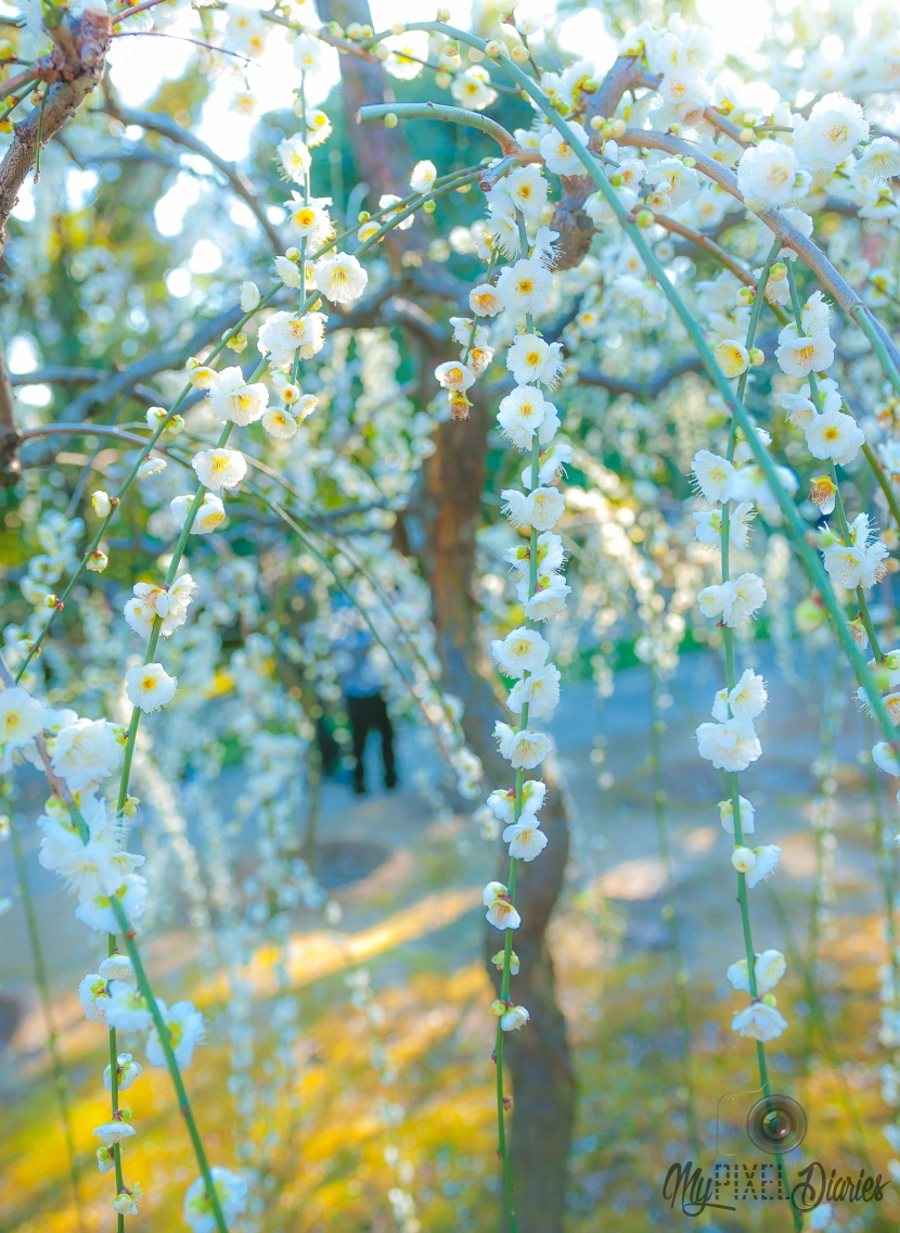 Plum Blossoms in Kyoto